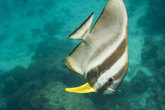 Teira batfish at Surin national park Stock Photos