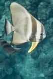Teira batfish at Surin national park Stock Image