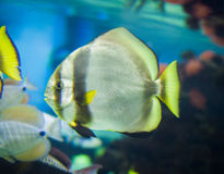 Teira batfish Stock Photo