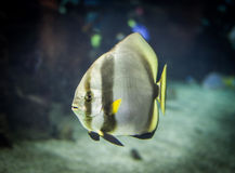 Teira batfish Stock Photography