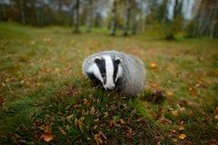 Tejón en el bosque, hábitat de la naturaleza animal, Alemania, Europa Escena de la fauna Tejón salvaje, Meles de los Meles, anima fotografía de archivo libre de regalías