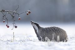 Tejón en invierno con las manzanas imagen de archivo
