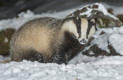 Tejón en nieve Imagenes de archivo
