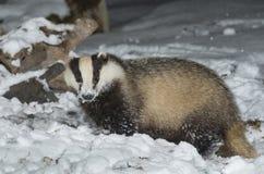 Tejón en nieve Fotografía de archivo libre de regalías