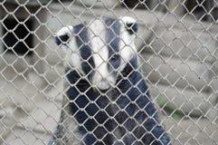 Tejón en parque zoológico Foto de archivo libre de regalías