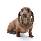 Tejón-perro enano Fotografía de archivo