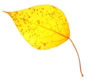 Żółtej topoli liść odizolowywający Obrazy Royalty Free
