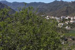 Almond tree, Tejeda, symbol of Gran Canaria countryside,  important ingredient in the gastronomy of Tejeda, Canary Islands, Spain. Tejeda located in the centre stock image