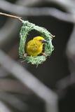 Tejedor amarillo Foto de archivo libre de regalías