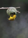 Tejedor amarillo Imagenes de archivo