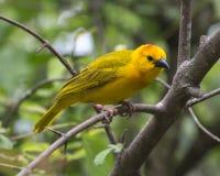 Tejedor amarillo Imagen de archivo