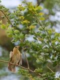 Tejedor On The Branch de Baya del árbol Fotografía de archivo libre de regalías