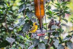 Tejedor de Baglafecht y mousebird manchado que se sientan en baño del pájaro fotos de archivo libres de regalías