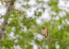 Tejedor de oro On The Branch de Baya del árbol Foto de archivo