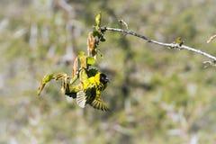 Tejedor del pueblo en el parque nacional de Kruger Imagen de archivo libre de regalías