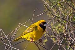 Tejedor enmascarado meridional amarillo Imagenes de archivo