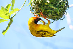 Tejedor enmascarado meridional del africano del velatus de Weaver Bird Ploceus Foto de archivo