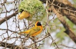 Tejedor enmascarado meridional - fondo salvaje africano del pájaro - construcción de un hogar Imagen de archivo