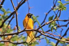 Tejedor enmascarado meridional - fondo salvaje africano del pájaro - hogar del edificio Foto de archivo libre de regalías