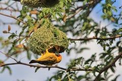 Tejedor enmascarado meridional - fondo salvaje africano del pájaro - hogar dulce casero Fotografía de archivo libre de regalías