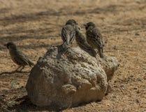 Tejedores (sociales) sociables que se sientan en roca Fotos de archivo libres de regalías