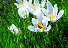 Tejió el azafrán del blanco de la flor Fotos de archivo