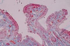 Tejido acolumnado simple del epitelio de la muestra histológica debajo del microscopio fotos de archivo