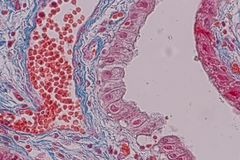 Tejido acolumnado simple del epitelio de la muestra histológica debajo del microscopio foto de archivo libre de regalías