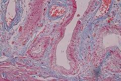 Tejido acolumnado simple del epitelio de la muestra histológica debajo del microscopio fotografía de archivo libre de regalías