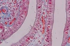 Tejido acolumnado simple del epitelio de la muestra histológica debajo del microscopio imagen de archivo libre de regalías