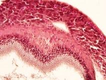 Tejido animal del hígado Imagen de archivo
