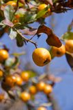 Tejocote als deel van de boomclose-up stock foto