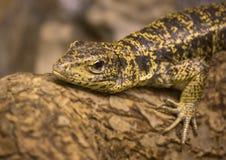 Teju - lagarto, teguixin del Tupinambis Imagen de archivo