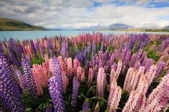 Tekapo do lago do campo do Lupine Imagem de Stock Royalty Free
