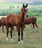 teke akhal końscy potomstwa Zdjęcia Royalty Free
