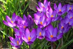 Teken van de lente - krokus Royalty-vrije Stock Fotografie
