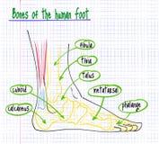 Tekening van de anatomie van de menselijke voet stock illustratie
