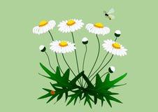 Tekening van een installatie van madeliefjes met bloemen Stock Afbeeldingen