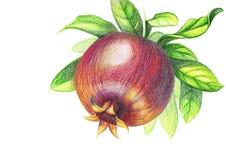 Tekening van granaatappel met kleurpotloden op een witte achtergrond stock fotografie