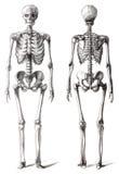 Tekeningsskelet Royalty-vrije Stock Foto's