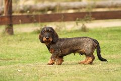 Tekkel breed standing on green grass Stock Photos