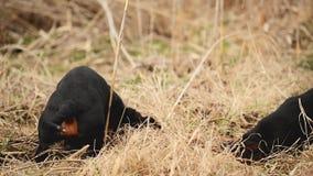 Tekkelhond de jacht voor mollen in de tuingrond met droog gras wordt behandeld dat Handbediende Regelmatige Lengte stock video