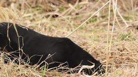 Tekkelhond de jacht voor mollen in de tuingrond met droog gras wordt behandeld dat Handbediende Regelmatige Lengte stock footage
