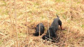 Tekkelhond de jacht voor mollen in de tuingrond met droog gras wordt behandeld dat Handbediende Regelmatige Lengte stock videobeelden