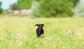 Tekkelhond in het park stock afbeelding