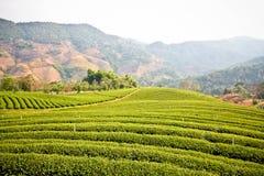 Tekoloni i Thailand Arkivbilder