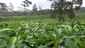 Tekoloni i Wonosobo borobodur indonesia java stock video