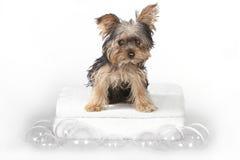 TekoppYorkshire terrier på den vita badningen Royaltyfria Foton