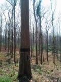 tekowi drzewa przygotowywający dla żniwa Fotografia Stock