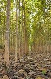 Tekowi drzewa w rolniczym Zdjęcia Royalty Free